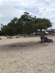 Divi boom op Aruba